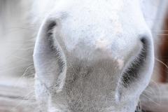 White horses nose