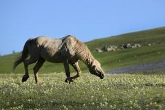 Snaking WIld Stallion