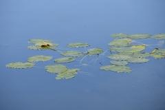 lilypadsweb