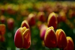 tulipdsweb